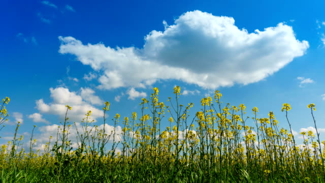 Timelapse of blooming canola under a blue sky with clouds video