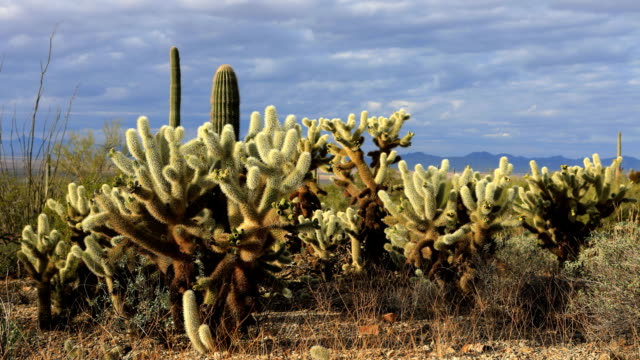 Timelapse of Cholla Cactus in Tucson Mountain Park video