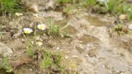 Timelapse of daisies beside stream video