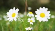 Timelapse of daisies video