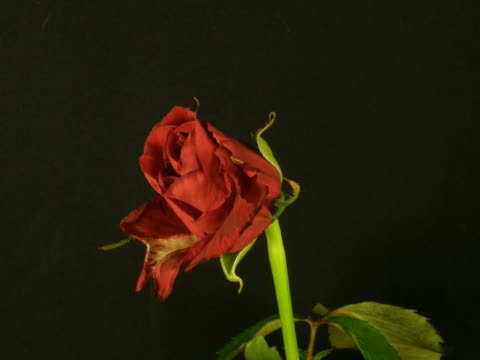 Time-lapse of dying red rose 3 video