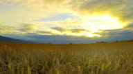 Timelapse of ears of wheat swaying in the breeze at sunset video
