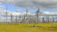 Timelapse of forming and flying clouds over the dead wood in Siberia, Yamal, Russia video
