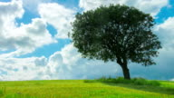 Time-lapse of green tree growing alone in field, clouds flying in blue sky video