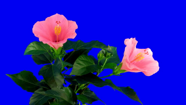 Time-lapse of pink hibiscus flower opening 2ck blue chroma key video
