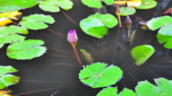 Timelapse of Pink lotus blooming in the morning video