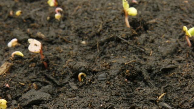 timelapse of radish seeds video