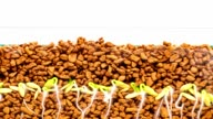 Time-Lapse Of Seeds Growing, With Both The Roots And Shoots Visible video