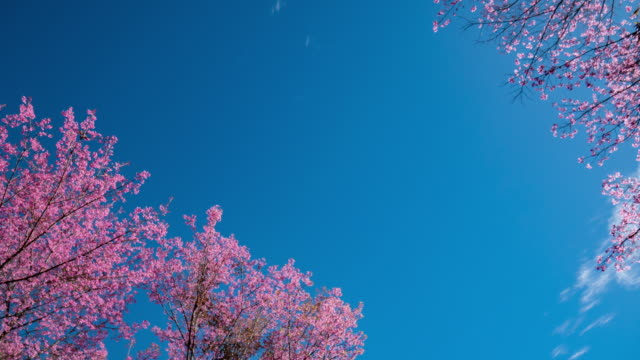 Time-lapse of Spring Cherry Blossom Branches with Blue Sky Backgrounds video