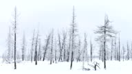 timelapse of winter in the Siberian taiga video
