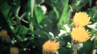 (8mm Vintage) 1968 Timelapse of Yellow Flowers Blooming video