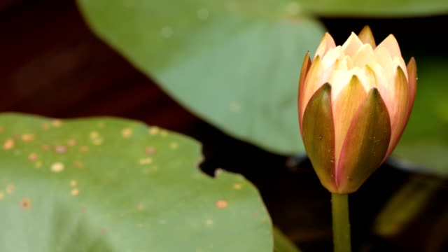 Timelapse: Orange Water Lily Blooming video