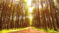 Time-lapse: Pine Tree Forests in Autumn Season video