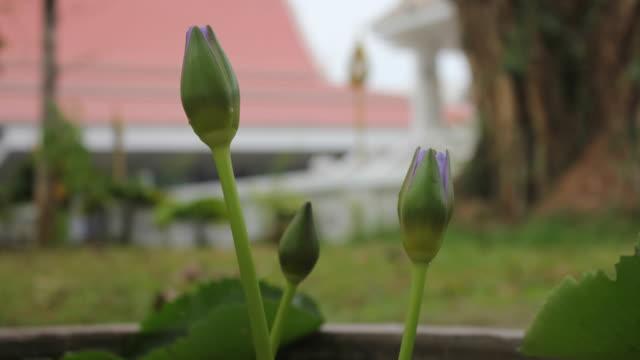 Timelapse purple lotus blossom. video