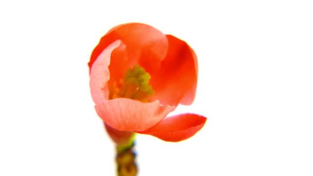 Timelapse red flower on white 4k video