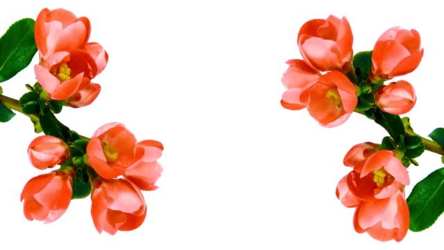 Timelapse red flowers on white 4k video