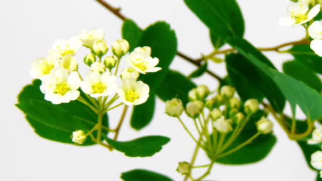 Timelapse spirea flowers on white video