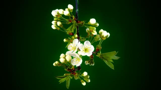 Timelapse tree flowers. video