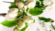 Timelapse video of an apple flower blossoming video
