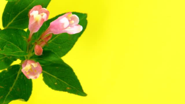 Timelapse weigela flowers on yellow video