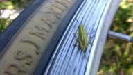 Tiny grasshopper. video