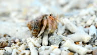 Tiny Hermit crab walk and focus video