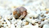 tiny Hermit crab will walk, if it safes video
