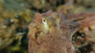 Tiny octopus close-up view undersea, Indonesia (4K) video