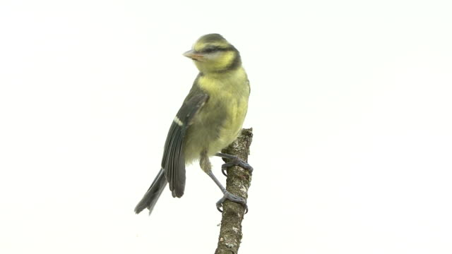 Tit perching in front of a white background video