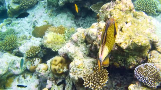Titan triggerfish - Balistoides viridescens video