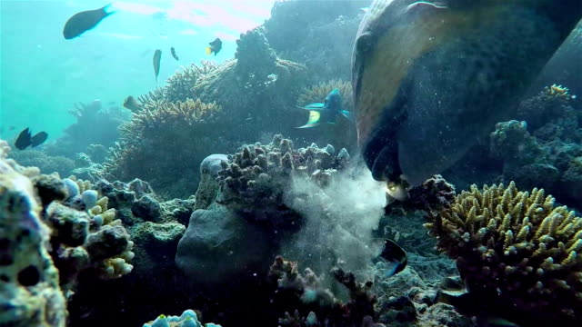 Titan triggerfish feed a coral on reef - Maldives video