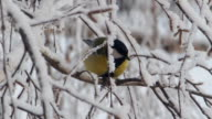 Titmouse on a snow-covered branches video