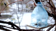Titmouses come flying to a bird feeder. video
