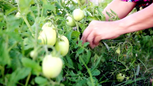tomates video