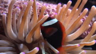 tomato clown fish video