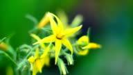 Tomato flowers video