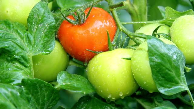 Tomato in a greenhouse video