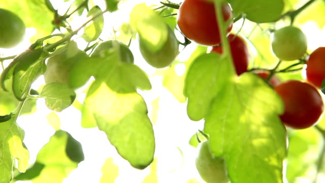 tomato nature sunlight video