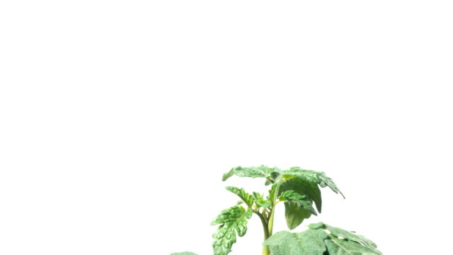 Tomato Seedling Time-lapse video