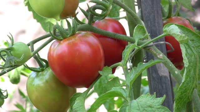 Tomato. video