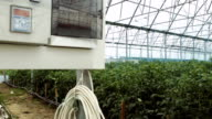 Tomatoes in greenhouse video