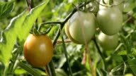 Tomatoes ripen on the branch video