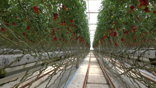 Tomatoes ripening in greenhouse video