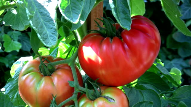 HD: tomatoes video