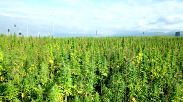 HD: Top bottom shot of industrial cannabis plant field video