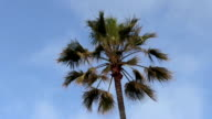 Top Of Palm Tree Swaying In Breeze Blue Sky video
