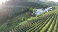 Top view Green tea plant video