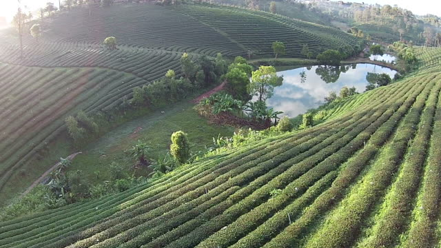 Top view Green tea plant video