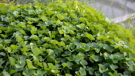 Top view panning: Centella asiatica leaves video