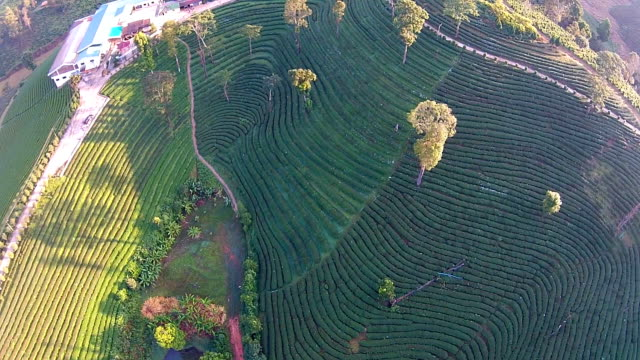 Top View Tea plantation in Thailand video